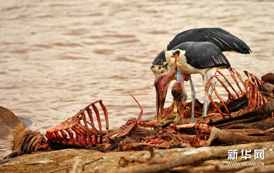8月29日,在肯尼亚马赛马拉野生动物保护区,马拉河河湾里堆满了角马的