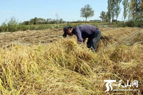 农民收割稻米