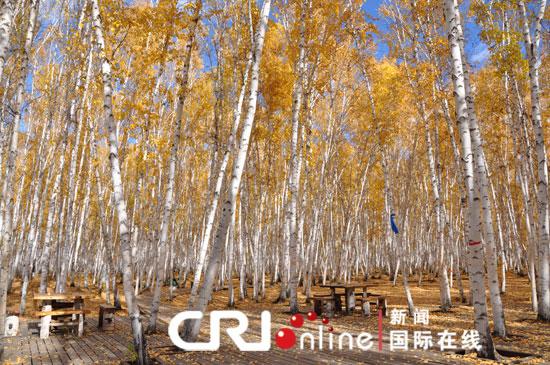 白桦树干材质细密,可制作木器,树皮是制作各类器具和精美手工艺品的上