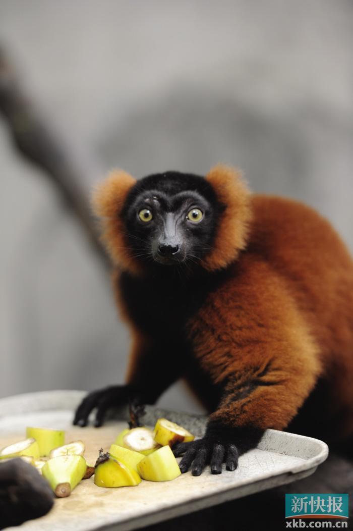现实版的马达加斯加岛就在广州香江野生动物世界!