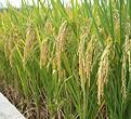 水稻籼粳杂种优势基因挖掘与新品种培育