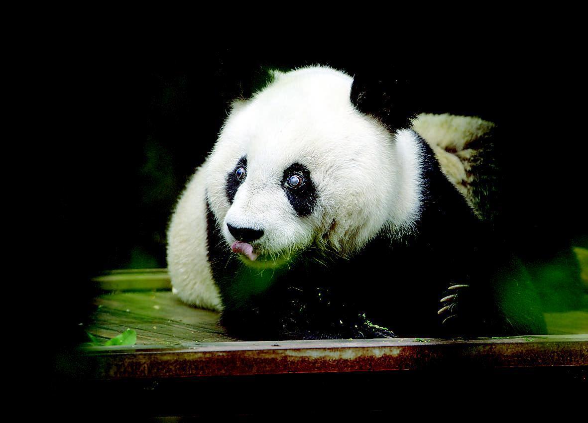 """大熊猫""""巴斯""""35岁了"""