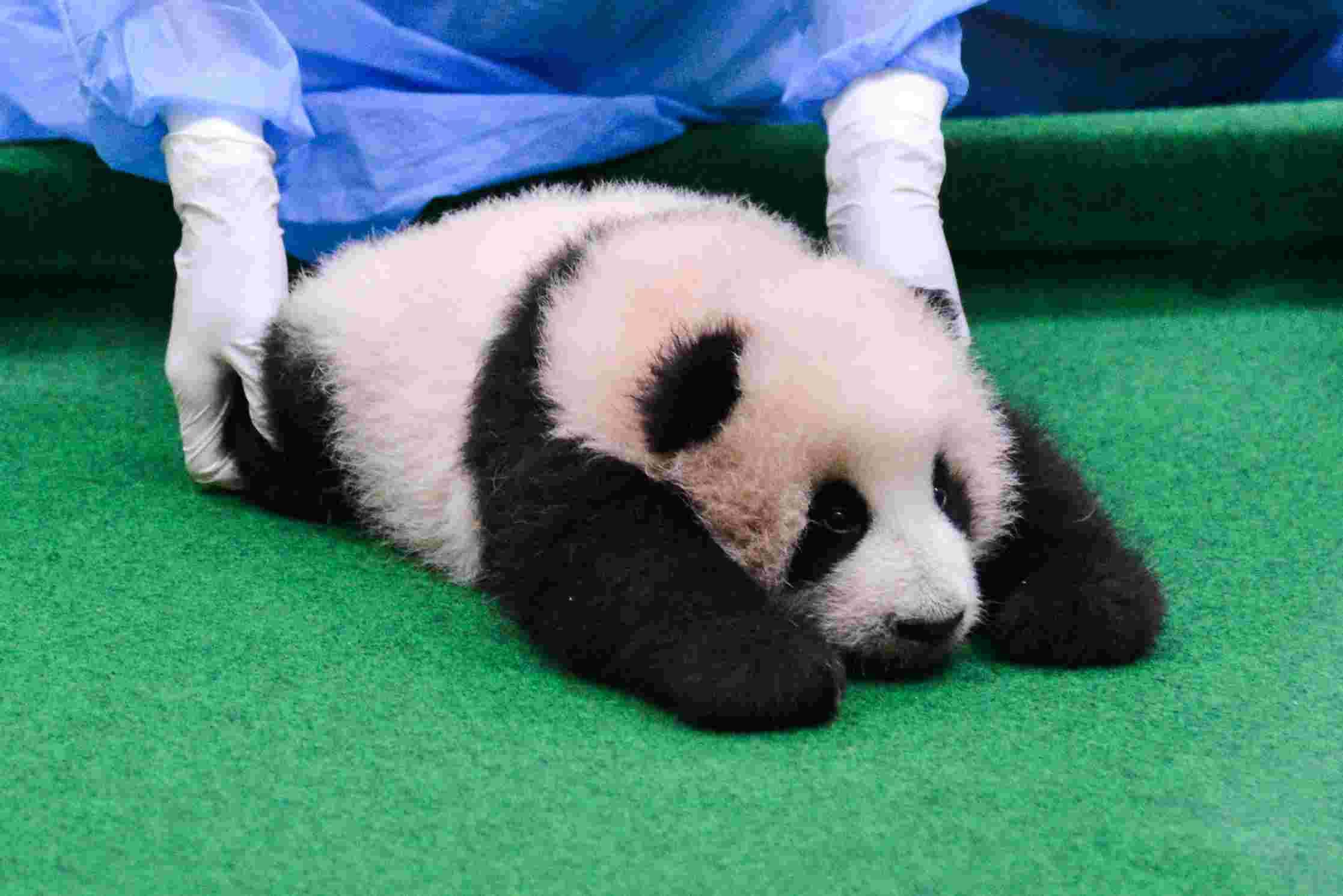 首只旅韩熊猫宝宝初次亮相