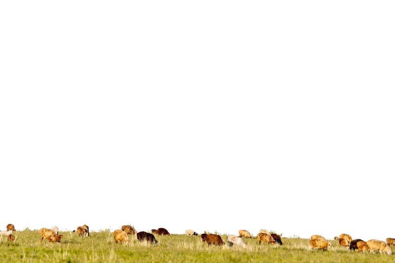 小七(布尔津)   大家都知道老努尔旦是啥人吧,这   个不用多说,大家心里清楚他每天的事情就是伺候家里那几十只羊,除此之外就是无休止地找事发牢骚。呃,你们懂的,我这里不啰嗦了。   这天,草原上传来大声的诅咒声,哎呀!啧啧,哎呀!啧啧,瞧瞧,这事,瞧瞧,这事竟然摊到我这个半死不活的老头子身上。老努尔旦不停重复这些话,发疯似的跑遍周围有可能去的毡房,大声诅咒,恨不得全世界人都知道这事。   老努尔旦为什么这么疯狂?原因很简单他丢了一只羊。   喂!年轻人,我必须到你家羊圈里瞅瞅,说不定我丢